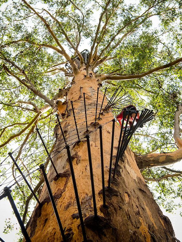 El árbol de Gloucester,Australia