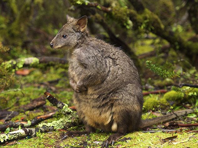 Ualabí, Tasmania, Australia