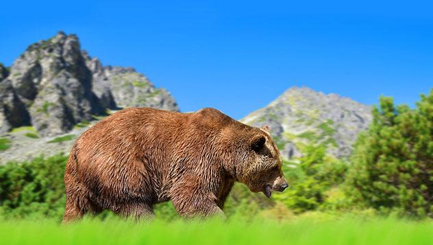 El oso pardo euroasiático vive de maravilla en el escarpado paisaje del Alto Tatra, Eslovaquia © vencavolrab / Getty Images