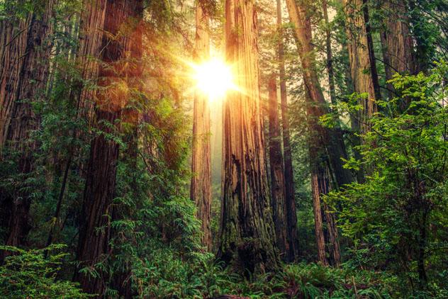 Pasear por Redwood, un bosque de árboles gigantes en la costa norte de California, EEUU © welcomia / Shutterstock