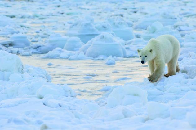 Un oso polar camina sobre el hielo de la bahía de Hudson, en Manitoba, Canadá © Robert Postma / Design Pics / Getty Images