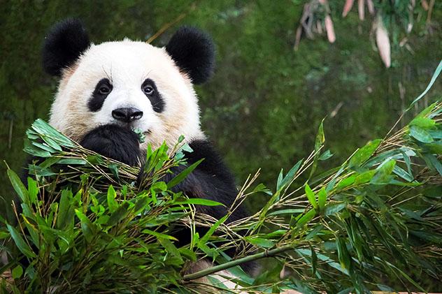 Panda gigante, China