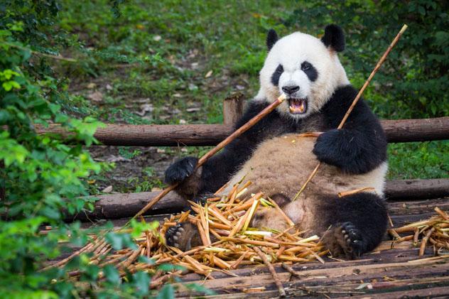 Un panda gigante mastica bambú en el centro de cría de pandas de Chengdu, China © kiszon pascal / Getty Images