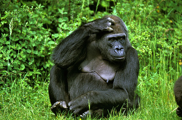 Gorila oriental de llanura, República Democrática del Congo