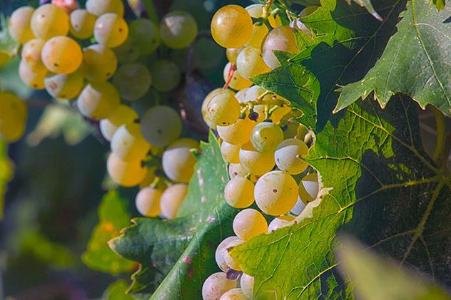 Uvas malvazija istarska en la vid, Istria, Croacia © LidiaLydia / Shutterstock