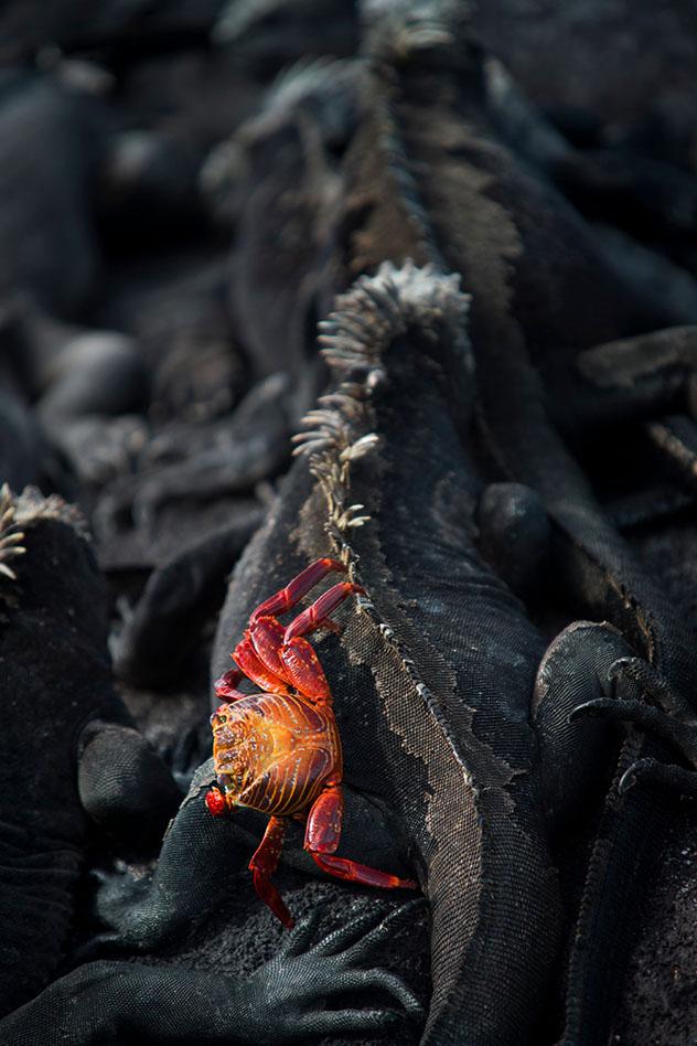 Una zapaya sobre una iguana marina, Islas Galápagos, Ecuador © Philip Lee Harvey / Lonely Planet