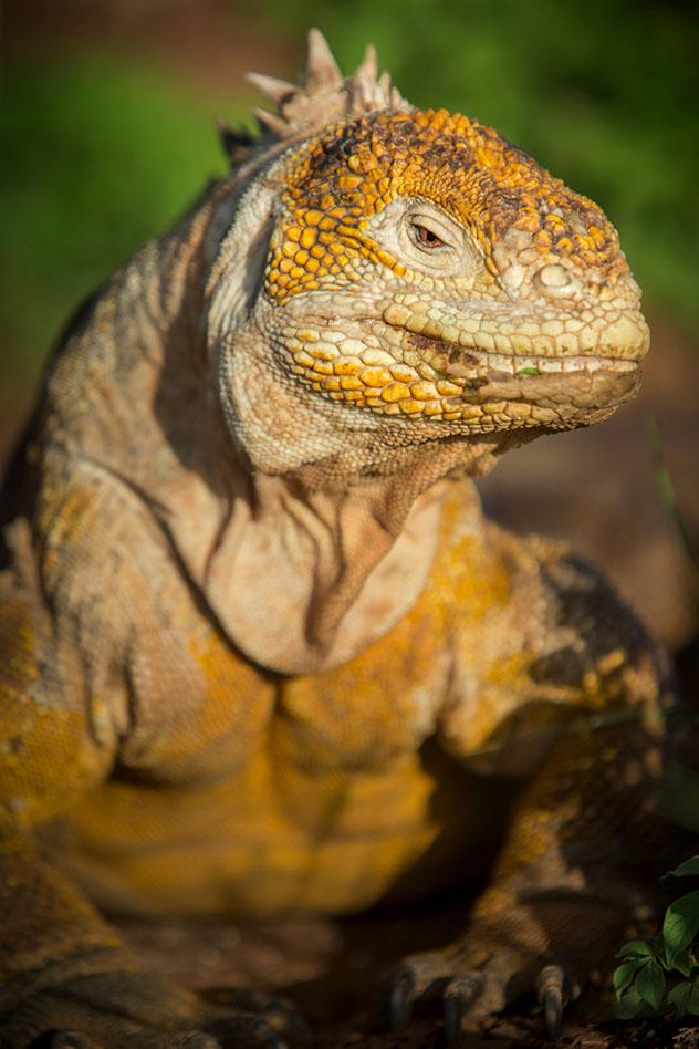 Una iguana terrestre, con aspecto de la reina de las Galápagos, Ecuador © Philip Lee Harvey / Lonely Planet
