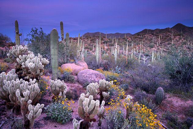 Cactus saquaro del estado de Arizona, Estados Unidos