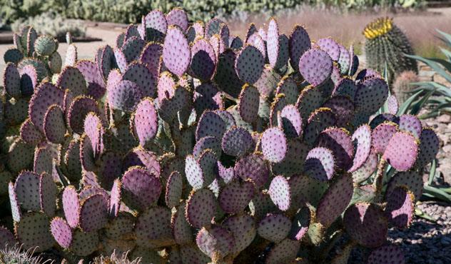 La fruta del cactus del nopal es un alimento (y una bebida) habitual del Suroeste, Arizona, EE UU © Asya Dombayan / Shutterstock