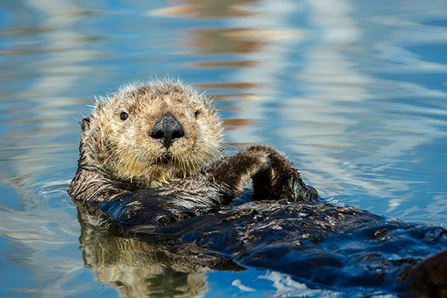 Nutria marina de California, EE UU
