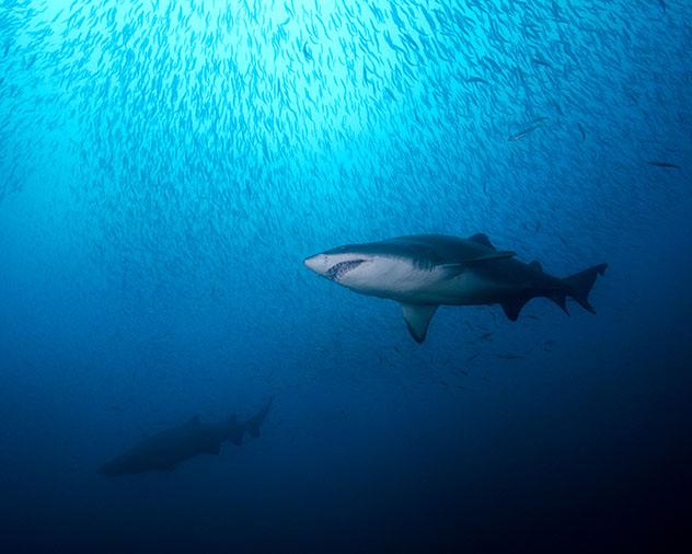 Tiburones tigre de arena, Carolina del Norte, EE UU