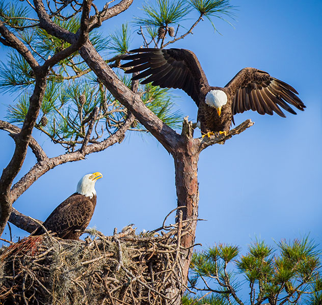 Águilas calvas del suroeste de Florida, EE UU