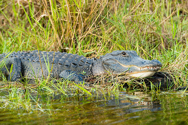 Cocodrilos y caimanes viven en el estado de Florida, EE UU