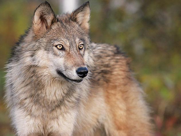 Lobo embajador de Minnesota, EE UU