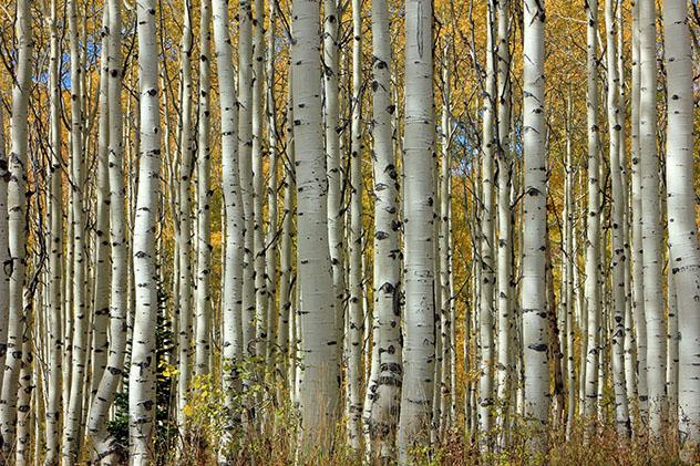 Pando Clone en el estado de Utah, EE UU