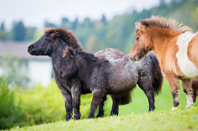 Atrevidos, adorables y robustos, los ponis de Shetland son uno de los elementos más destacados del viaje, Escocia © Alexia Khruscheva / Shuttesrtock