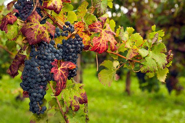 Eslovenia vinos: uvas Red Refosco