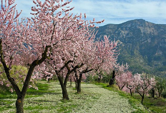 La floración de los almendros en primavera, La Vall de Pop, Alicante, España © ANCH / Shutterstock