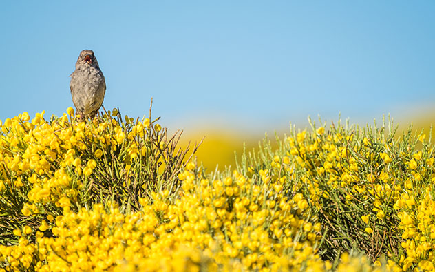 Floración en primavera de los piornos en la Sierra de Gredos, Ávila, España © Ramon Carretero / Shutterstock