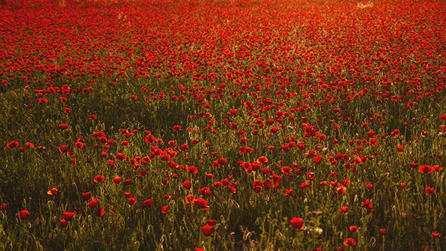 Campos de amapolas del condado de Treviño en primavera, Burgos, España © jessicahyde / Shutterstock