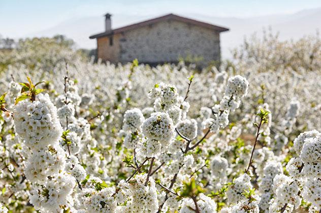 Las flores blancas de los cerezos invaden el Valle del Jerte, Cáceres, España © ABB Photo / Shutterstock