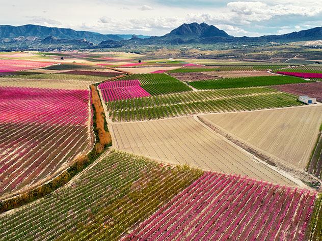 En primavera es el color rosa el que predomina en los campos de Cieza, Murcia, España © Alex Tihonovs / Shutterstock
