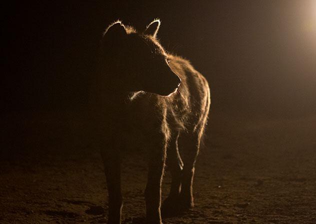 Experiencia salvaje en África: hienas de Harar, Etiopía