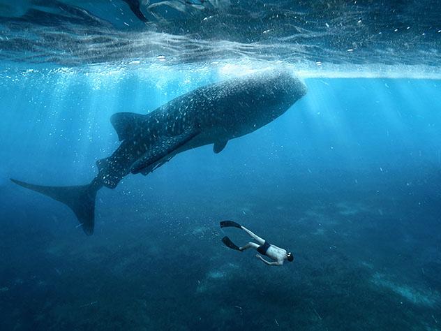 Febrero es una gran época del año para ver tiburones ballena en las Filipinas © Razor527 / Shutterstock