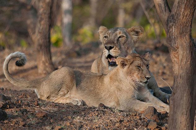Gujarat: leones asiáticos en el Parque Nacional del Bosque de Gir