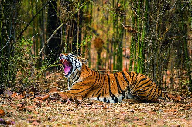 Madhya Pradesh, la Reserva de Tigres de Bandhavgarh, India