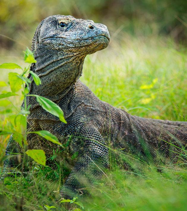 Un dragón de Komodo, el reptil más grande del mundo, que puede alcanzar los 3 m de longitud, Parque Nacional de Komodo, Indonesia © Guenter Guni / Getty Images