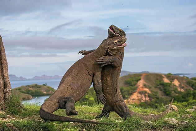 No hay nada comparable a ver dragones de Komodo en la isla del mismo nombre, Indonesia © Gudkov Andrey / Shutterstock