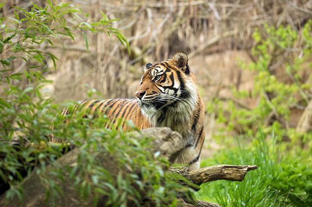 Aventuras en Indonesia: observación de fauna, tigre de Suamatra