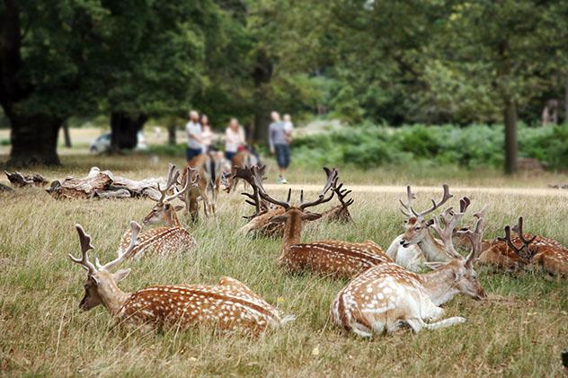 Animales salvajes en Richmond Park