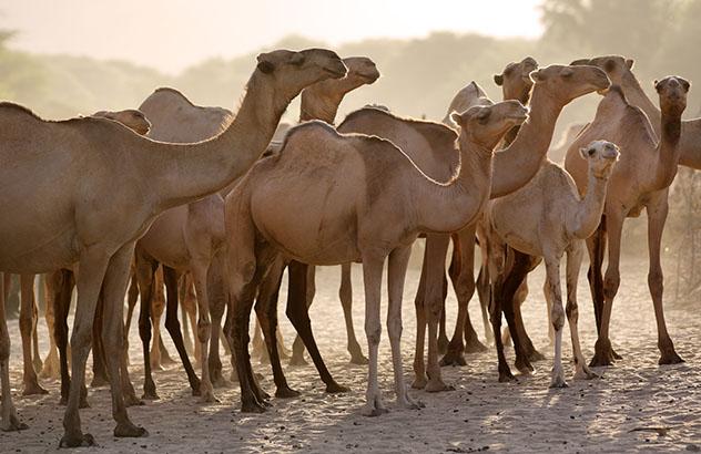 Experiencia salvaje en África: Maralal International Camel Derby, Kenia