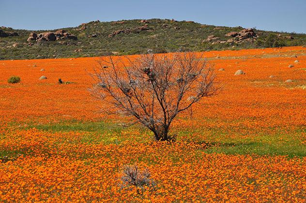 Experiencia salvaje en África: flores silvestres de Namaqualand, Namibia