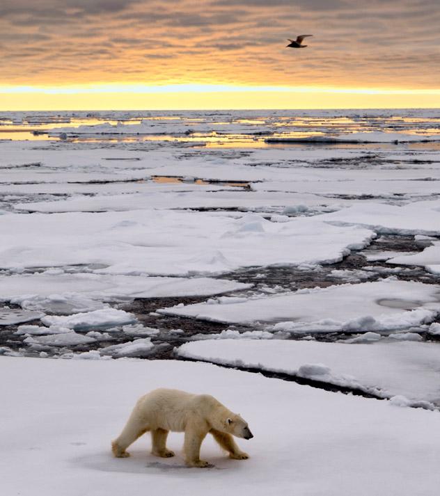 Oso polar en las Islas Svalbard, Noruega © Justinreznick / Getty Images