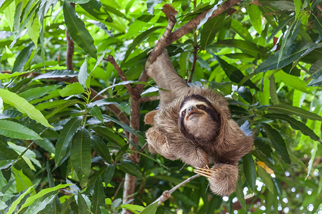 Fauna de Panamá: perezoso