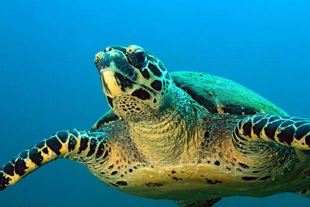 Fauna Panamá: tortuga marina