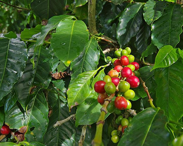 Flora de Panamá: café