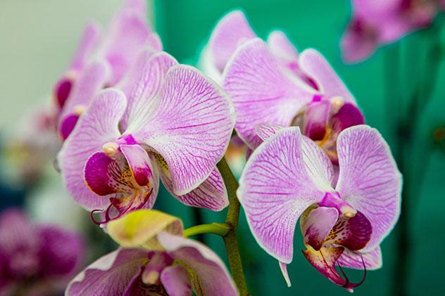 Flora de Panamá: orquídeas