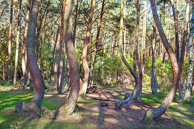 Bosque Embrujado de Nowe Czarnowo, Polonia