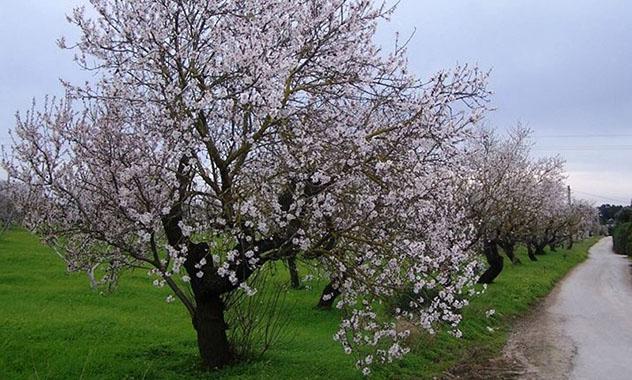 Almendros en flor en Barrocal, Algarve en primavera, Portugal