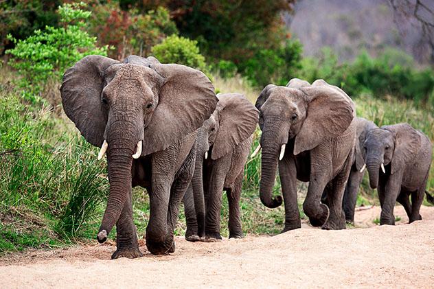 Elefantes en el Parque Nacional Kruger, Sudáfrica
