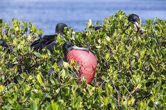 Turismo sostenible: sostenibilidad. Una fragata macho, Antigua y Barbuda