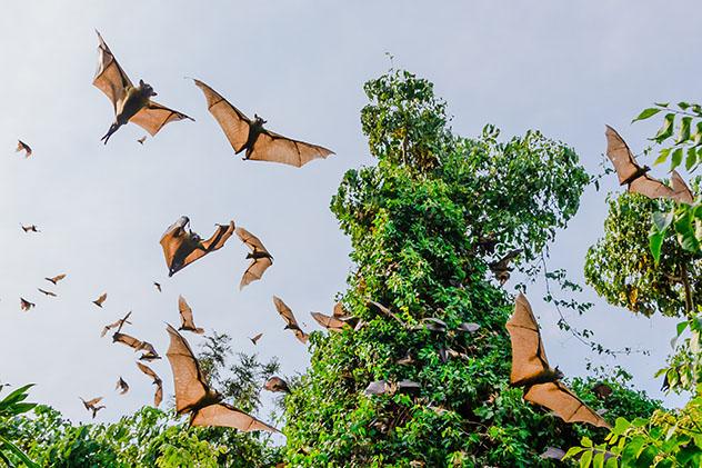 Turismo sostenible. Sostenibilidad. Zorros voladores (murciélagos) sobre el lago Kivu, Ruanda