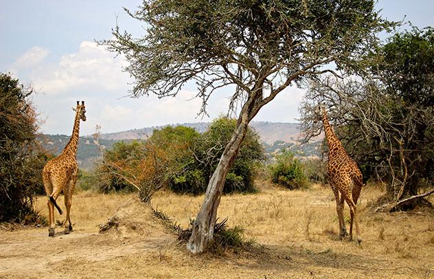 Turismo sostenible. Sostenibilidad. Jirafas campando en el Parque Nacional Akagera, Ruanda