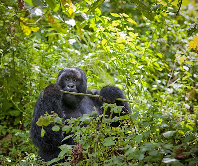 Turismo sostenible. Sostenibilidad. Un gorila Kwitonda, en el Parque Nacional de los Volcanes, Ruanda
