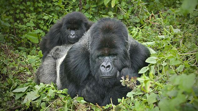 Turismo sostenible: sostenibilidad. Programa protección gorila de montaña, Ruanda
