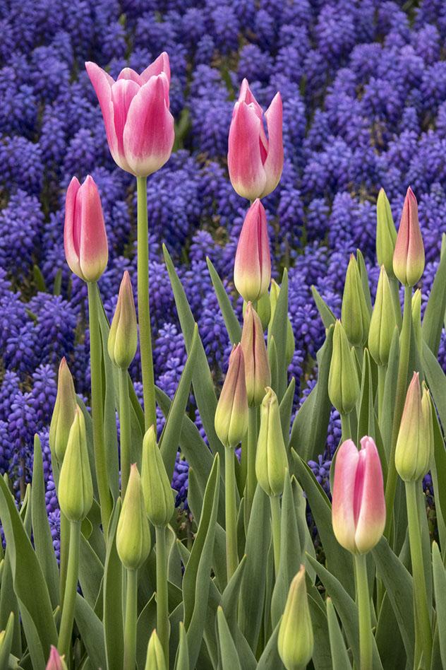 Tulipanes para celebrar la iesta de la Flores en Estambul, Turquía